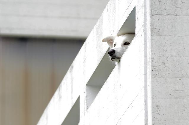 Biely pes sa pozerá cez betónové zábradlie na balkóne.jpg